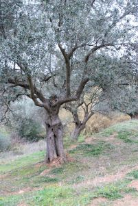 olive_tree_woman_dancing